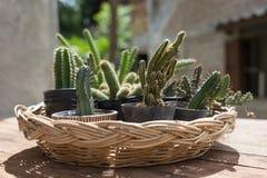 De installatie van de cactuswoestijn Stock Foto's