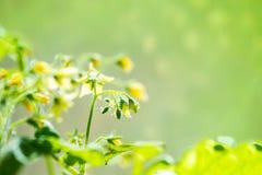 De installatie van de de lentezaailing van bloeiende jonge tomaat op onduidelijk beeld groene bac Royalty-vrije Stock Foto's