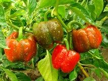 De installatie van de groene paprika stock afbeelding