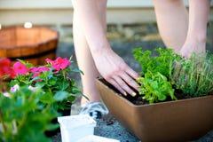 De installatie van de handenplaats in vierkante bruine planter Stock Fotografie