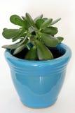 De Installatie van de jade in Blauwe Pot Royalty-vrije Stock Afbeelding