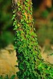 De installatie van de klimplant   Royalty-vrije Stock Afbeeldingen