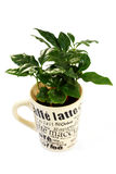 De installatie van de koffie royalty-vrije stock afbeelding