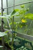 De installatie van de komkommer Stock Foto's