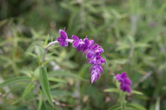 De installatie van de lavendel in bloei Stock Foto's