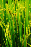 De installatie van de rijst Stock Afbeeldingen