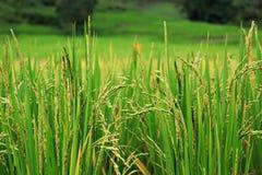 De installatie van de rijst Stock Foto's