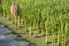 De installatie van de rijst Stock Afbeelding