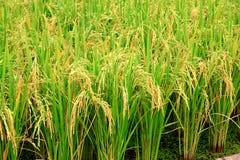 De installatie van de rijst Stock Foto