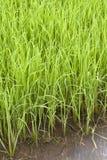 De installatie van de rijst in padie Royalty-vrije Stock Foto