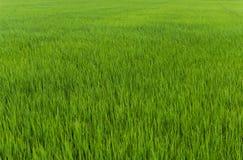 De installatie van de rijst in padieveld Royalty-vrije Stock Foto's