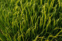 De installatie van de rijst in padieveld Royalty-vrije Stock Foto