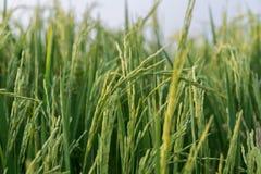 De installatie van de rijst in padieveld Royalty-vrije Stock Fotografie