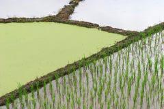 De installatie van de rijst treft voorbereidingen Stock Fotografie