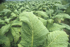 De installatie van de tabak Royalty-vrije Stock Foto