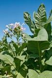 De installatie van de tabak in bloei Stock Foto