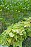 De installatie van de tabak in landbouwbedrijf van Thailand Stock Afbeelding
