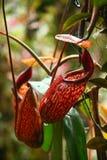De installatie van de waterkruik; Macfarlanei van Nepenthes Stock Fotografie