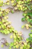 De installatie van de wijnstokklimplant met groene en gele bladeren Stock Foto's