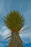 De Installatie van de yucca Royalty-vrije Stock Foto