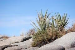 De installatie van de yucca royalty-vrije stock afbeeldingen