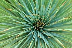 De installatie van de yucca Royalty-vrije Stock Fotografie