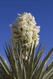 De installatie van de yucca in bloei stock afbeeldingen