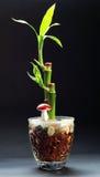 De installatie van het bamboe in een vaas stock foto