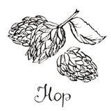 De installatie van het hopkruid die in de brouwerij van bier wordt gebruikt Voor etiketten en verpakking Royalty-vrije Stock Afbeelding