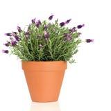 De Installatie van het Kruid van de lavendel stock fotografie
