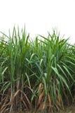 De installatie van het suikerriet Royalty-vrije Stock Afbeelding