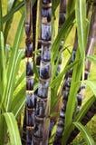 De installatie van het suikerriet Royalty-vrije Stock Foto