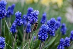 De installatie van Muscariarmeniacum met blauwe bloemen stock afbeeldingen