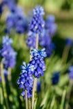 De installatie van Muscariarmeniacum met blauwe bloemen royalty-vrije stock foto's
