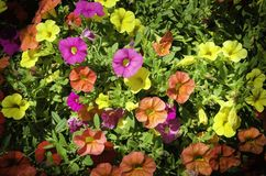 De installatie van petuniabloemen Stock Foto