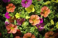 De installatie van petuniabloemen Stock Foto's