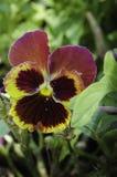 De installatie van petuniabloemen Stock Fotografie