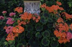 De installatie van petuniabloemen Royalty-vrije Stock Fotografie