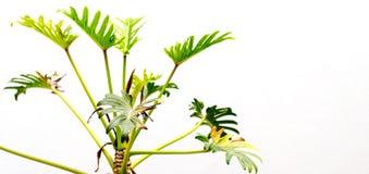 De Installatie van Philodendronxanadu Royalty-vrije Stock Afbeeldingen