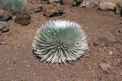 De Installatie van Silversword op Vulkaan Haleakala royalty-vrije stock afbeeldingen