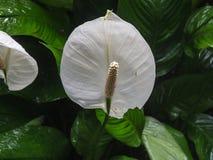 De installatie van Spathiphyllumkochii Royalty-vrije Stock Fotografie