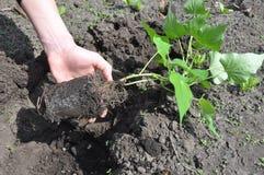De Installatie van de vrouwenhand en kweekt Bataten Tuinman Growing Sweet Potatoes stock afbeelding