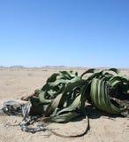 De installatie van Welwitchia, Namibië stock afbeelding