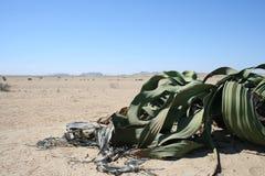 De installatie van Welwitchia, Namibië, Afr royalty-vrije stock foto's