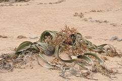 De installatie van Welwitschiamirabilis het leven fossile namibian dessert Royalty-vrije Stock Foto's