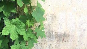 De installatie van de wijnstokklimplant over achtergrond van de grunge de concrete muur stock videobeelden
