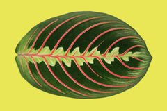 De installatieblad van Maranta zoals fishbone Royalty-vrije Stock Fotografie
