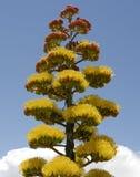 De installatiebloemen en wolken van de agave Stock Foto's