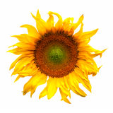 De installatiebloesem van de zonnebloembloem op wit wordt geïsoleerd dat Royalty-vrije Stock Foto's