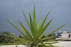 De installatieclose-up van agavetequilana met blauwe hemel als achtergrond stock foto